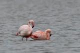 Flamingo, - Flamingo - Phoenicopterus roseus