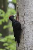 Zwarte specht - Black Woodpecker - Dryocopus martius
