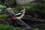 Grote bonte specht - Greater spotted woodpecker - Dendrocopos