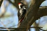 Syrische bonte specht - Syrian woodpecker - Dendrocopos syriacus