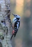 Middelste bonte specht - middle spotted woodpecker - Leiopicus medius