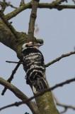 Kleine bonte specht - lesser spotted woodpecker - Dryobates minor