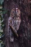 Bosuil -  tawny owl - Strix aluco