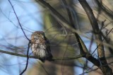Dwerguil - Eurasian Pygmy Owl - Glaucidium passerinum