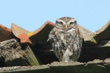 Steenuil - little owl - Athene noctua