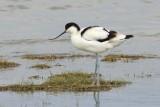 Kluut - Avocet - Recurvirostra avosetta