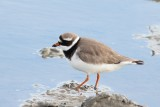 Bontbekplevier - Ringed plover - Charadrius hiaticula