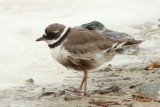 Charadrius hiaticula tundrae - Bontbekplevier - common ringed plover