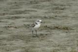 Strandplevier - Kentish plover - Charadrius alesandrinus