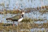 Kievit - Lapwing - Venellus vanellus