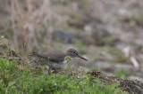 Oeverloper - Common sandpiper - Tringa hypoleucos