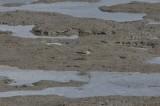 Terekruiter - Terek sandpiper - Xenus cinereus