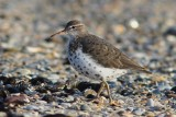 Amerikaanse oeverloper - spotted sandpiper  -  Actitis macularia