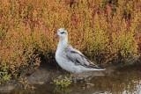 Rosse franjepoot - Grey phalarope - Phalaropus fulicarius