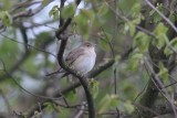 Tuinfluiter - Garden warbler - Sylvia borin