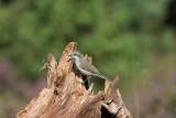 Braamsluiper - Lesser whitethroat - Sylvia curruca
