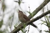 Krekelzanger - River warbler - Locustella fluviatilis