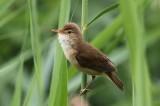 Kleine karkiet- Reed warbler - Acrocephalus scirpaceus