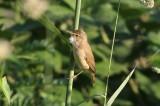 Bosrietzanger - Marsh warbler - Acrocephalus palustris