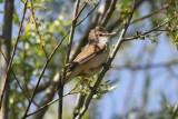 Grote karekiet,Great reed-warbler - Acrocephalus