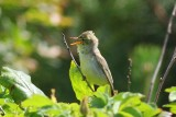 Spotvogel - Icterine warbler - Hippolais icterina