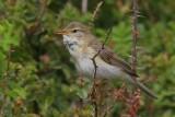 Fitis - Wllow Warbler - Phylloscopus trochilus