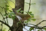 Fluiter - Wood warbler - Phylloscopus sibilatrix