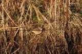 Bruine boszanger , dusky warbler - Phylloscopus fuscatus