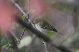 Bladkoning - yellow-browed warbler - Phylloscopus inornatus