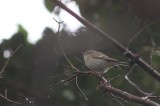 Humes bladkoning - Hume's leaf warbler - Phylloscopus humei