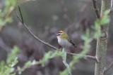Zangers - Songbirds