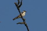 Withalsvliegenvanger - Collared flycatcher - Ficedula albi collis