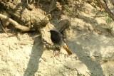 Zwarte roodstaart