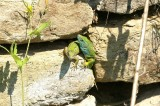 Smaragdhagedis