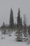 Taiga Forest - Finland