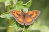 Pyronia tithonus - Oranje Zandoogje