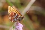 Boloria aquilonaris - Veenbesparelmoervlinder