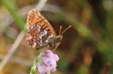 Nymphalidae - Parelmoervlinders