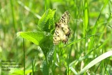 Allancastria cerisyi - Oostelijke pijpbloemvlinder