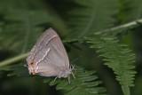 Neozephyrus quercus  - Eikenpage