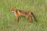 Vos -  Red fox - Vulpes vulpes