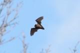 Vleermuizen - Chiroptera