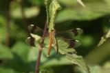 Bandheidelibel - Banded darter - Sympetrum pedemontanum