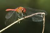 Bloedrode heidellibel - Ruddy Darter - Sympetrum sanguineum