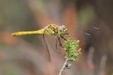 Zwarte heidelibel - Black Meadowhawk  - Sympetrum danae