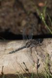 Noordse witsnuitlibel  - Leucorrhinia rubicunda