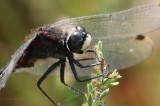 Venwitsnuitlibel - White-faced darter - Leucorrhinia dubia