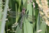 Glassnijder - Hairy dragonfly - Brachytron pratense