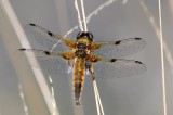 Viervlek - Four-spotted Chaser - Libellula quadrimaculata