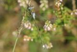 Tangpantserjuffer - Lestes dryas  -  Lestes dryas
